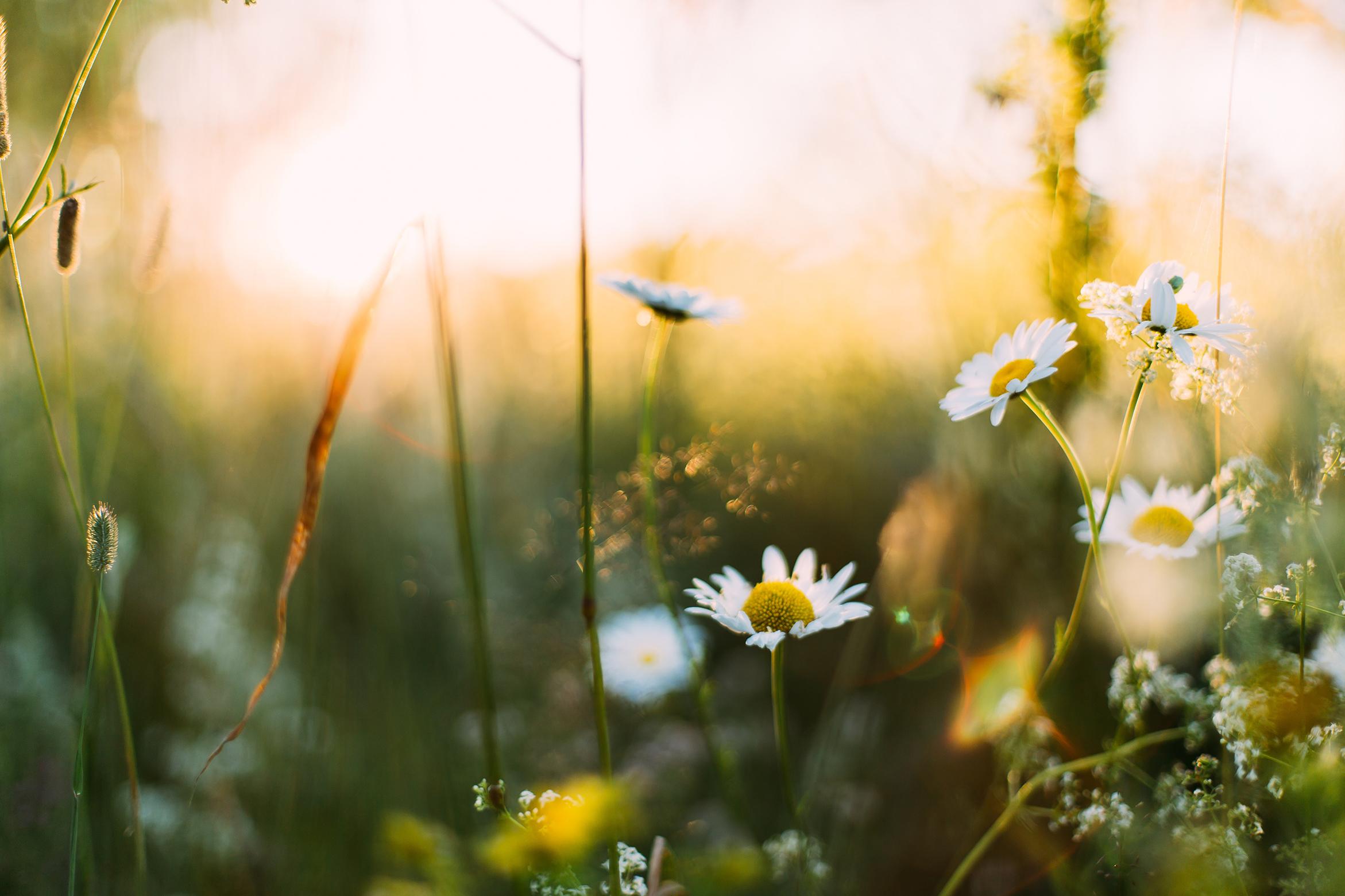 flores manzanilla